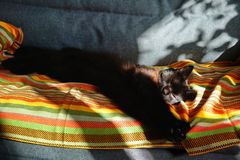 Chocolate cat sleeping on the couch. Relaxed and stretched his paws royalty free stock photo