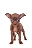 Chocolate Chihuahua puppy on white Stock Photo