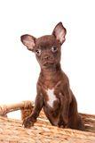 Chocolate Chihuahua puppy on white Stock Photos