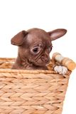 Chocolate Chihuahua puppy on white Royalty Free Stock Photos