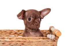 Chocolate Chihuahua puppy on white Royalty Free Stock Images