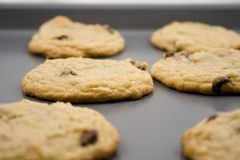Chocolate chip cookies hot to go. Cookie sheet of chocolate chip cookies fresh out of the oven Royalty Free Stock Photo