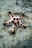 Chocolate chip sea star Royalty Free Stock Photos