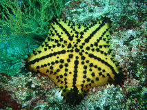 Chocolate chip seastar Stock Images