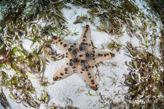 Chocolate Chip Starfish in Seagrass Meadow Royalty Free Stock Images