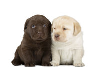 Chocolate & Chocolate Labrador Retriever Puppies. Chocolate & Yellow Labrador Retriever Puppies (4 week old, isolated on white background royalty free stock photography