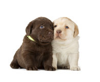Chocolate & Chocolate Labrador Retriever Puppies. Chocolate & Yellow Labrador Retriever Puppies (4 week old, isolated on white background royalty free stock images