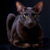 Chocolate cinnamon oriental cat portrait Royalty Free Stock Photo