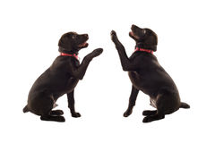 Chocolate Colored Labradors Royalty Free Stock Photo