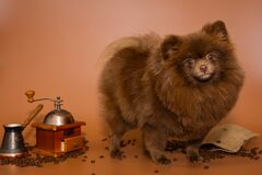 Chocolate-colored Pomeranian Dog Stock Photography