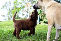 Chocolate colored puppy with its mother. A chocolate colored puppy in Papua New Guinea greets its mother happily royalty free stock photos