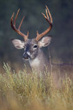 Chocolate colored rack on whitetail buck Stock Image