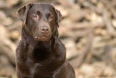 Chocolate considerável e alerta Labrador Foto de Stock Royalty Free