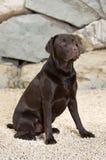 Chocolate considerável e alerta Labrador Fotografia de Stock