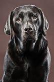 Chocolate considerável Labrador Imagem de Stock