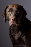 Chocolate considerável Labrador de encontro ao cinza Fotos de Stock