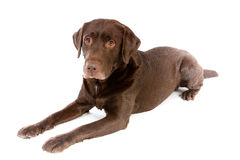 Chocolate de Labrador que pone en el estudio blanco Imagen de archivo libre de regalías