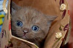 chocolate del gatito, pequeño gato recto, mágico escocés Fotografía de archivo