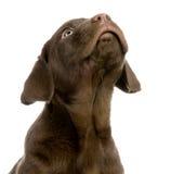 Chocolate del perro perdiguero de Labrador Foto de archivo libre de regalías