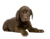 Chocolate del perro perdiguero de Labrador Imagenes de archivo