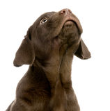 Chocolate do retriever de Labrador Foto de Stock Royalty Free