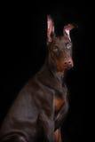 Chocolate Doberman puppy Stock Photos