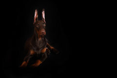 Chocolate Doberman puppy Stock Photos