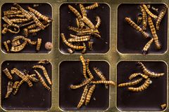 Chocolate with edible insects and worms, alternative food royalty free stock photos