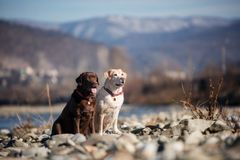 Chocolate and fawn dog labrador of the river and sky royalty free stock photography