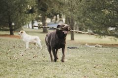 Chocolate, female, Labrador Retriever playing in the backyard stock photography