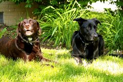 Chocolate grito de Labrador y perro de pastor negro que ponen en césped del patio trasero fotos de archivo libres de regalías