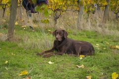 Chocolate On Guarde. Chocolate Lab taking care of the vineyard Royalty Free Stock Photos
