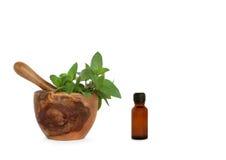 Chocolate Herb Mint Stock Image