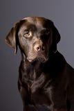 Chocolate hermoso Labrador contra gris Imágenes de archivo libres de regalías