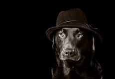 Chocolate hermoso Labrador en sombrero negro Imagen de archivo
