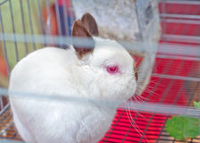 Chocolate Himalayan Colored Netherland Dwarf Bunny Stock Photography