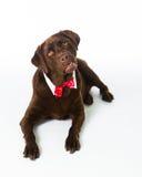 Chocolate Holiday Labrador. Chocolate Labrador Retriever all decked out for the holidays stock images