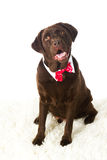 Chocolate Holiday Labrador. Chocolate Labrador Retriever all decked out for the holidays royalty free stock photos
