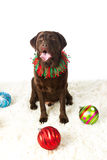 Chocolate Holiday Labrador. Chocolate Labrador Retriever all decked out for the holidays royalty free stock images