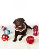 Chocolate Holiday Labrador Stock Photography