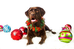 Chocolate Holiday Labrador Retriever. Chocolate Labrador Retriever all decked out for the holidays royalty free stock photo