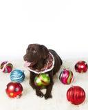 Chocolate Holiday Labrador Retriever. Chocolate Labrador Retriever all decked out for the holidays Royalty Free Stock Image