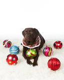 Chocolate Holiday Labrador Retriever Royalty Free Stock Photos
