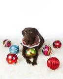 Chocolate Holiday Labrador Retriever. Chocolate Labrador Retriever all decked out for the holidays Royalty Free Stock Photos