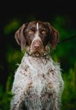 Chocolate hunting dog Stock Photos