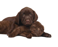 Chocolate kitten and chocolate pup. Kitten and puppy on a white background. A cat and a dog together Royalty Free Stock Image
