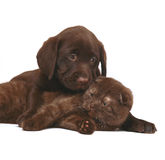 Chocolate kitten and pup. Kitten and puppy on a white background. A cat and a dog together Royalty Free Stock Image
