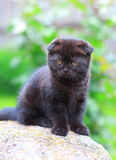 Chocolate kitten sitting on stone Stock Images