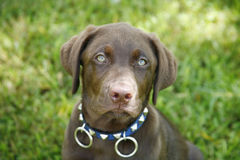 Chocolate Lab Royalty Free Stock Image