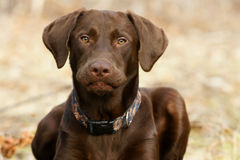 Chocolate Lab Royalty Free Stock Images